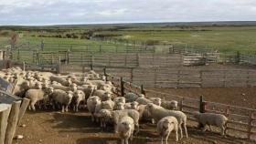 La huella de carbono en la producción ovina Patagónica ¿una medida que nos beneficia en la región?