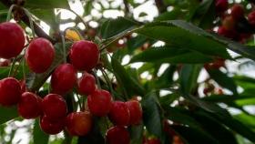 Cerezas: esperan triplicar la producción del año pasado