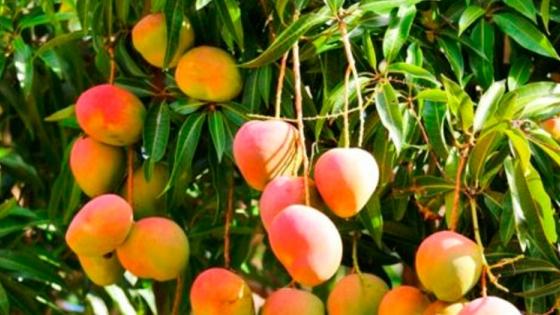 Mango formoseño: fruta saludable y recomendada por nutricionistas