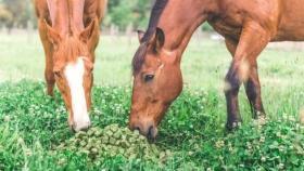 Los chilenos se instalaron en San Juan para producir caramelos de alfalfa de exportación para sus caballos