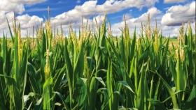El maíz pica en punta en la zona núcleo