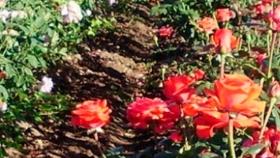 San Pedro: se cumple el primer ciclo de producción de rosales de sanidad controlada