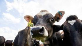 Se dice que el suplemento alimenticio de prueba de los agricultores reduce el metano de las vacas en un tercio