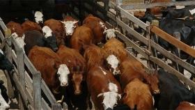 Ganadería: cae el precio de la hacienda por el cepo a la carne