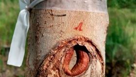 Evaluación de poda temprana en clones de eucalipto