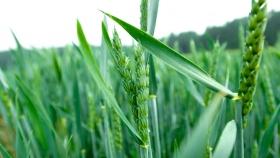 Más área y producción: la Bolsa de Cereales porteña proyecta otro gran ciclo triguero y cebadero
