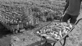 Cultivo organopónico, una idea ganadora