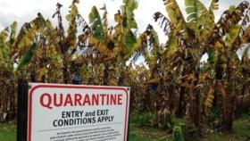 Tropical Race 4: la pandemia del plátano