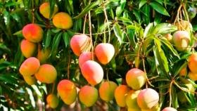 Sequía: Desde CEDEVA indican que la planta que mejor resiste las altas temperaturas es el mango