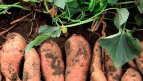 Simoca contará con una planta procesadora de batata