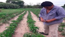 Cosechas y evaluación de ensayo de variedades de pimiento para pimentón en Belén, Catamarca