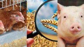 Alimentación de bovinos: manejo de los cereales afectados por hongos y sus micotoxinas