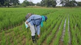La exitosa apuesta de un agricultor venezolano por la innovación que mejora la resiliencia del arroz