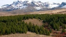 Las plantaciones mediterráneas de Pinus en la Argentina y España