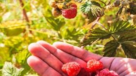 El cultivo de frutos rojos suma adeptos en el Sur provincial mendocino
