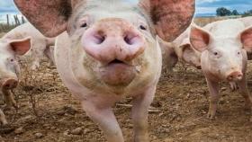Carne de cerdo: Más producción, más consumo interno y mayores exportaciones