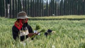 La enfermedad del trigo común en América del Sur salta a África