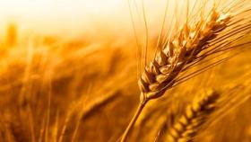 Desarrollan trigo tolerante a distintos herbicidas