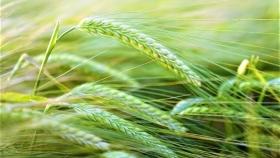 El 2021 se perfila como el año de la cebada