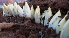 Las distintas técnicas para el cultivo de endivias