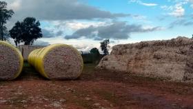 Todo lo que se esconde detrás de un capullo: El algodón es la segunda economía regional luego del maní, pero la que más empleo genera