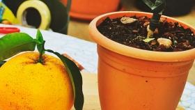 Cómo cultivar pomelo en maceta