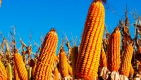 Investigadores argentinos determinaron los mecanismos fisiológicos que aumentan los rindes del maíz