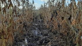 Por noveno año consecutivo la cosecha argentina de soja registra un nivel proteico inferior al óptimo