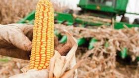 Se aceleran las ventas de maíz ante los buenos precios internacionales