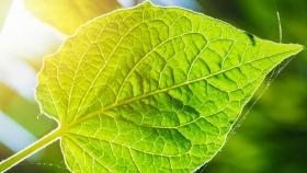 Las plantas superan el hambre con la ayuda de la autofagia