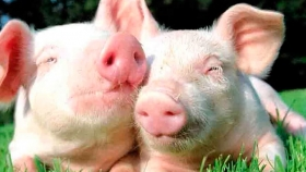 El trasplante de corazón de cerdos a humanos sería viable desde fines de 2021