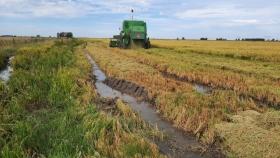 Arroz: finalizó la cosecha con excelentes resultados en calidad en Santa Fe