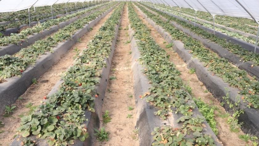 La producción santafecina de frutillas corre riego por la bajante del Paraná