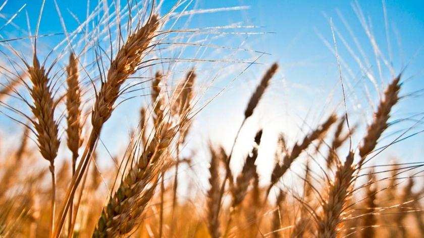 La revolución del trigo