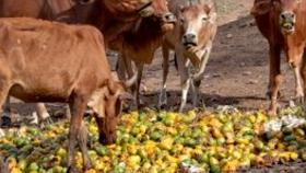 Utilización del mango y sus subproductos en producción animal