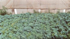 Plantación de variedades de repollo en invernadero