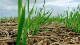 Entre Ríos: con buena humedad en el perfil y precio del trigo, se define la fina