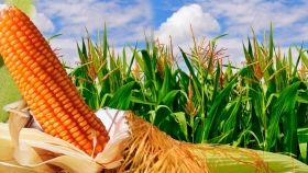 Trigo y maíz: advierten que podría haber una caída importante si no hay estímulos