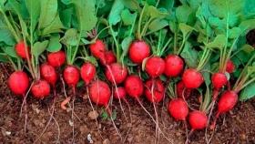 Rabanito: prácticas y recomendaciones para realizar el cultivo aliado de la huerta en otoño