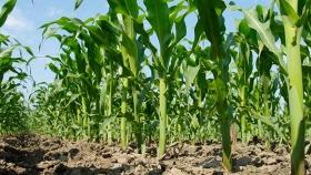 Avanza la implantación de maíz en Mato Grosso