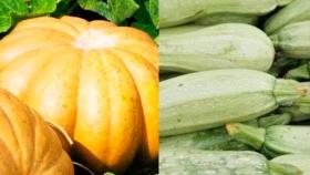 Cuál es la diferencia entre calabacín, calabaza y zapallo anco