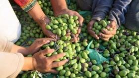 Finalizó la cosecha de aceituna de mesa con el 70% de cosecheros de otras provincias