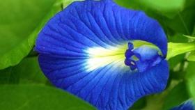 Cómo crecer, cuidar y ganar con Blue Ternate