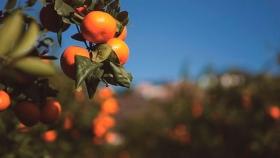 La mandarina Nadorcott y su papel en la reinvención de los cítricos