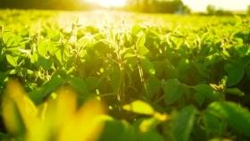 Soja: estudian cómo impacta la radiación solar en la calidad del grano