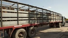 Capacitación en Bienestar Animal durante el transporte terrestre de ganado