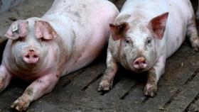 Transforman residuos de la producción porcina en abonos orgánicos