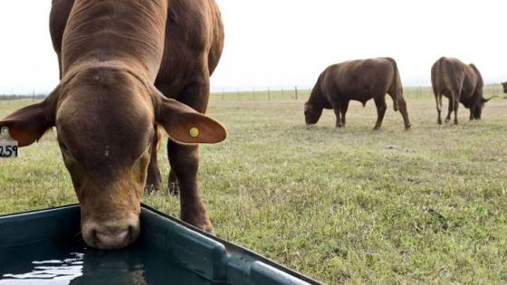 Un estudio de Embrapa muestra cómo varía la huella hídrica según el tipo de cría del ganado vacuno