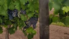 Mendoza: convierten envases de agroquímicos en postes para viñedos