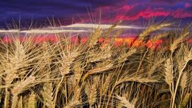 Un 70% de la renta de una hectárea de trigo se va en impuestos